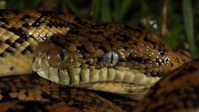 Photo of Australische python vliegt onopgemerkt mee naar Glasgow