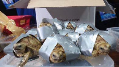 Photo of Douane vindt 1.529 levende schildpadden in koffers